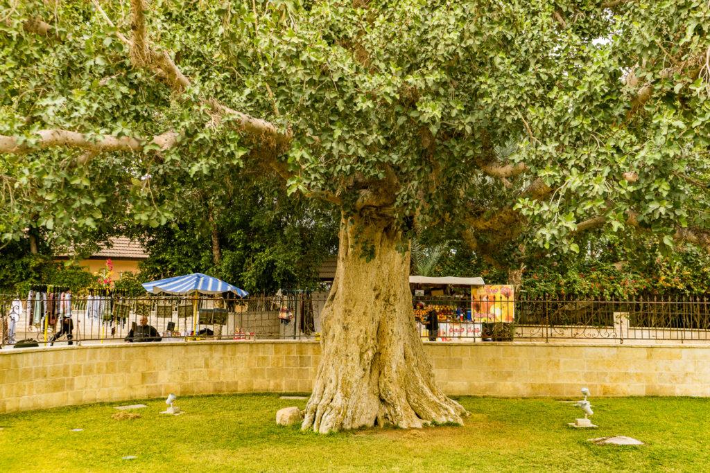 Jericho Tree
