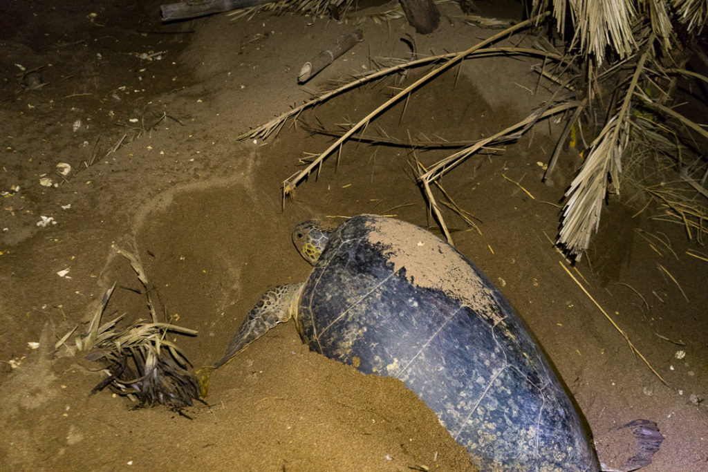 Giant turtles laying eggs in Mohéli, Comoros