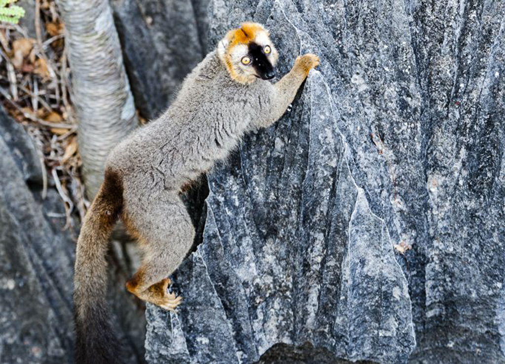 Brown Lemur on the rock, Tsingy, Madagascar