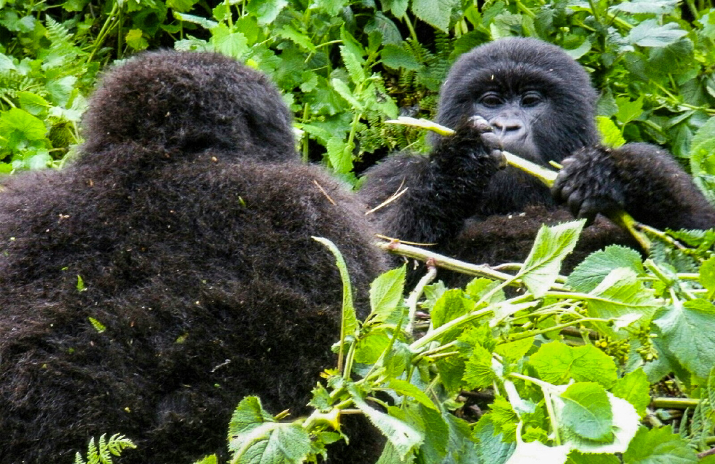 Gorillas in Volcanoes National Park, Rwanda