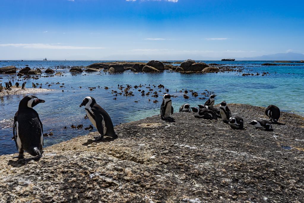 Penguins in Simon's Town, Cape Town