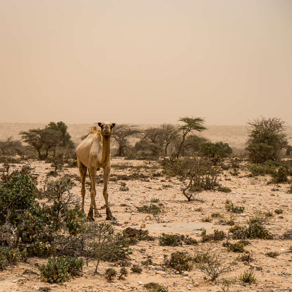 A Camel in the Somali Desert