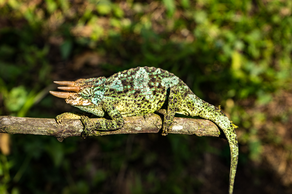 A chameleon, A Hike to the World's Largest Lava Lake - Mount Nyiragongo, DR Congo