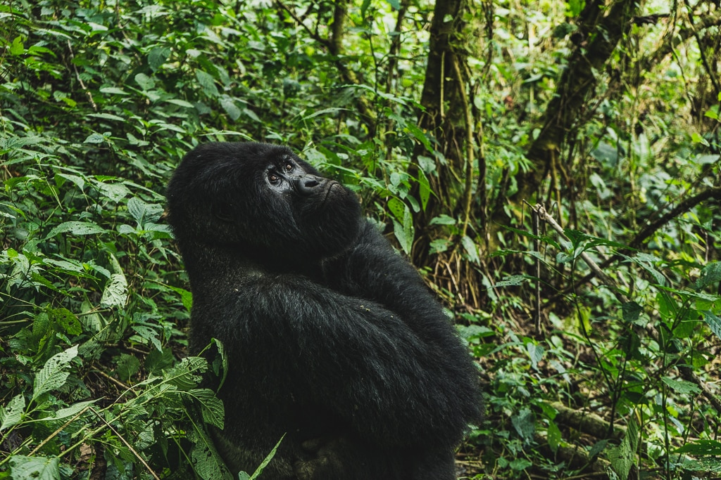 Gorilla Trekking in the Democratic Republic of Congo