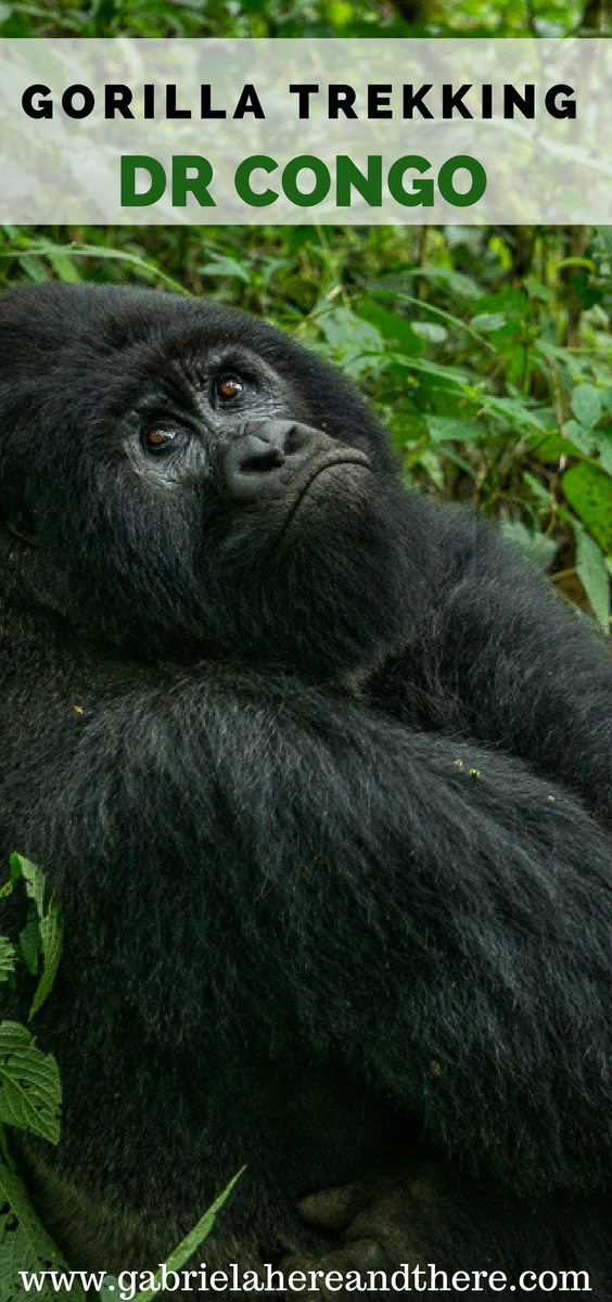 Gorilla Trekking in Virunga National Park in the Democratic Republic of Congo