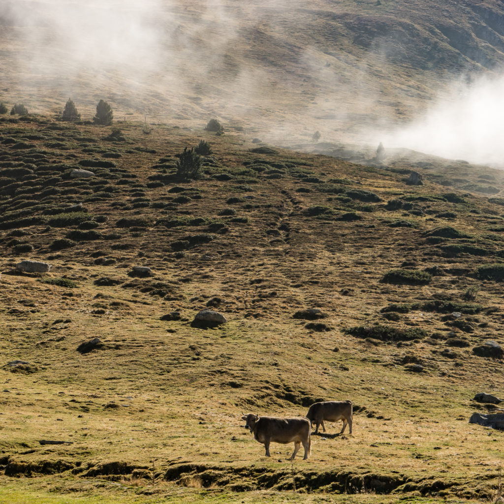 Andorra, cows