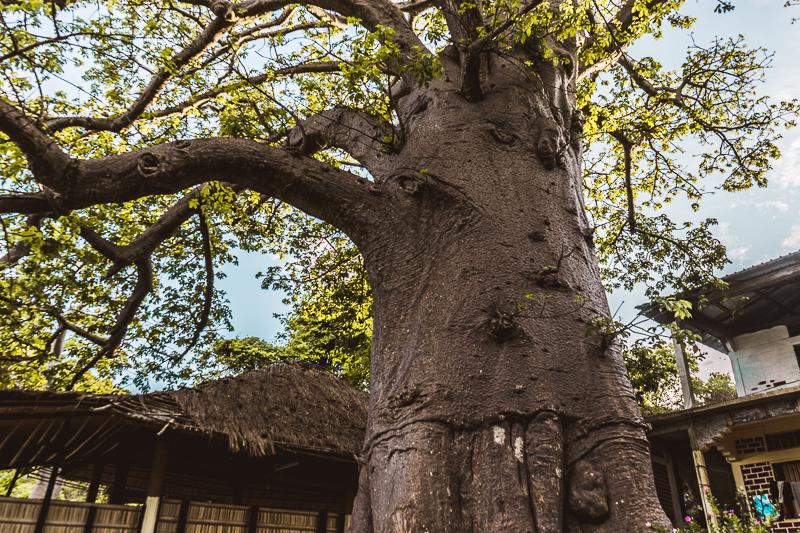 Baobab trees in Moheli, Comoros