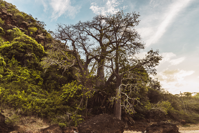 Baobab trees in Moheli, Comoros