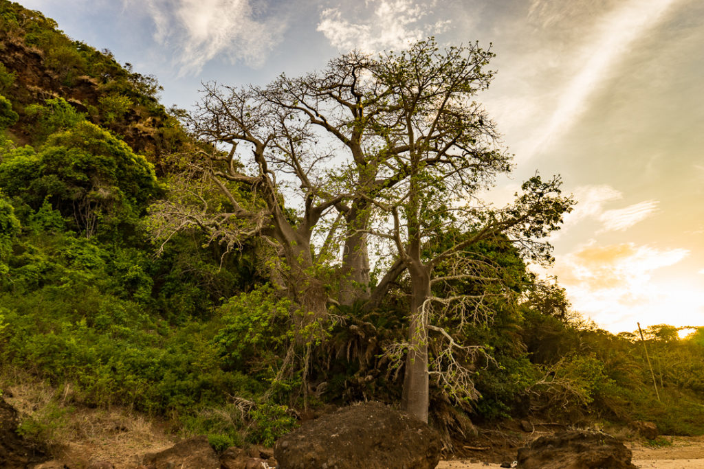 Baobab trees in Comoros