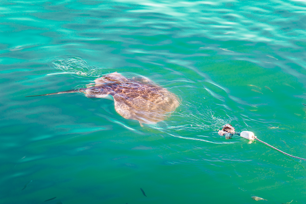 Stingray, Shark Cage Diving in Gansbaai, South Africa, with Marine Dynamics