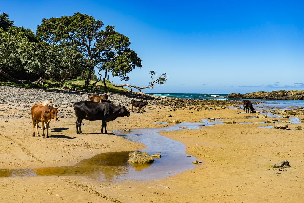 Cows in Coffee Bay, South Africa