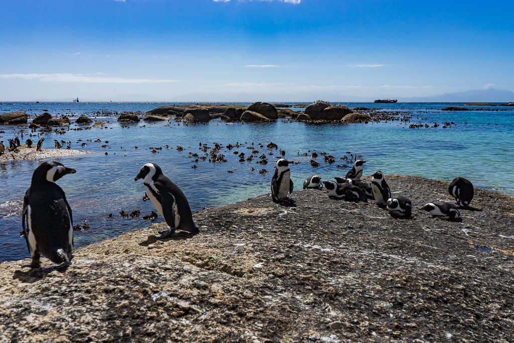 Penguins in Simon's Town, Cape Town